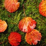 在一个绿色青苔的红色白杨木叶子 多雨秋天的日 库存照片