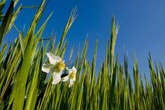 在一个绿色领域的两棵白色水仙 免版税库存图片