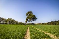 在一个绿色领域的倾斜的杉树 库存图片