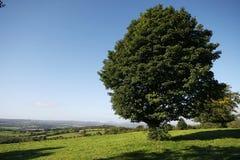 在一个绿色领域的叶茂盛树 免版税库存图片