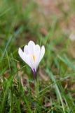 在一个绿色领域的唯一番红花 免版税图库摄影