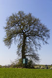 在一个绿色领域的大橡木与在前面的一点高位子 库存照片