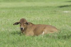 在一个绿色领域的婆罗门牛 美国婆罗门母牛牛格拉茨 图库摄影