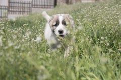 在一个绿色领域的小狗 图库摄影