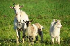 在一个绿色领域的山羊家庭 库存图片