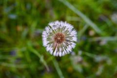 在一个绿色领域的空气蒲公英 春天 免版税库存图片