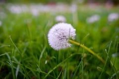 在一个绿色领域的空气蒲公英 春天 图库摄影