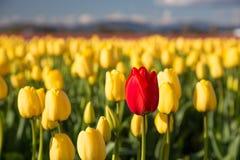 在一个黄色领域的红色郁金香 图库摄影