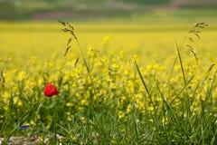在一个黄色领域的红色鸦片 图库摄影