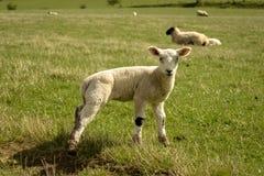 在一个绿色领域的羊羔 免版税库存照片