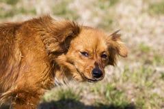 在一个绿色领域的逗人喜爱的矮小的棕色狗 库存图片