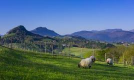 在一个绿色领域的绵羊与山在背景中 库存图片
