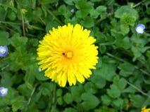 在一个绿色领域的黄色蒲公英 免版税库存照片