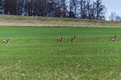 在一个绿色领域跑的鹿 免版税库存图片