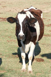 在一个绿色领域里面的一头母牛在农场 免版税库存图片