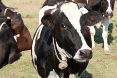 在一个绿色领域里面的母牛在农场 免版税库存照片
