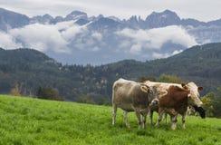 在一个绿色高山草甸的母牛 库存图片