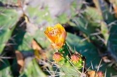 在一个绿色仙人掌顶部的橙色花 免版税图库摄影