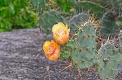 在一个绿色仙人掌顶部的橙色花 库存照片