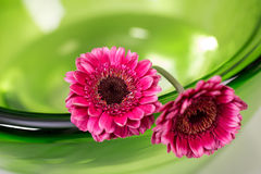 在一个绿色玻璃碗的桃红色大丁草 免版税库存图片