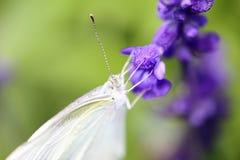 在一个紫袍贤人的纹白蝶 免版税图库摄影