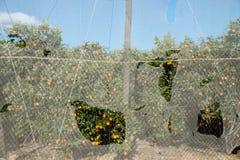 在一个greenhoused橙色种植园的风暴损伤 库存照片