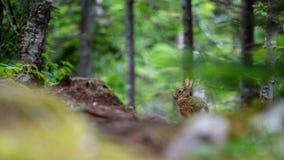 在一串足迹的Showshoe野兔在森林里 免版税库存图片