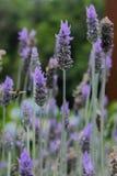 在一些淡紫色之间的一次蜂飞行 图库摄影