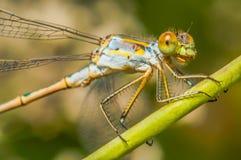 在一些草的彩虹蜻蜓 免版税库存图片