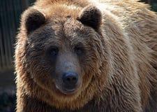 在一件温暖的棕色外套的一头美丽的强的棕熊 免版税库存照片