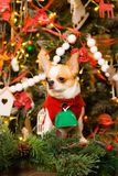 在一件红色礼服的奇瓦瓦狗坐圣诞节背景  库存图片