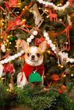 在一件红色礼服的奇瓦瓦狗坐圣诞节背景  免版税库存照片