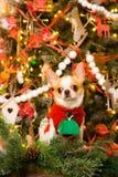 在一件红色礼服的奇瓦瓦狗坐圣诞节背景  库存照片