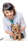 在一位美丽的年轻狩医的招待会的约克夏狗 免版税图库摄影