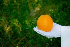 在一副白色手套的一只侍者` s手拿着一个桔子反对灌木背景 免版税库存图片