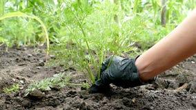 在一副黑手套的手拉出碎红萝卜 r 自然健康食品的概念 t 股票录像