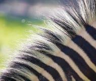 在一匹斑马的鬃毛本质上 库存照片