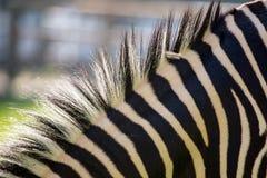 在一匹斑马的鬃毛本质上 库存图片