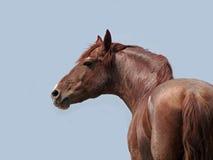 在一匹灰色头发环面的马的强有力的栗子 库存图片