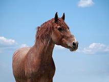 在一匹灰色头发环面的马的强有力的栗子 免版税库存照片