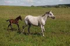 在一匹绿色领域/母马和她的驹的马 库存图片
