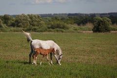 在一匹绿色领域/母马和她的驹的马 免版税库存照片