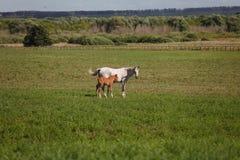在一匹绿色领域/母马和她的驹的马 免版税库存图片