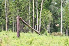 在一半的一棵残破的树 免版税图库摄影