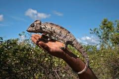 在一只人的手上的一个变色蜥蜴 库存照片
