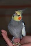 在一只人的手上的小形鹦鹉宠物有种子的 免版税图库摄影