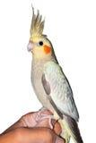 在一只人的手上的小形鹦鹉宠物 库存图片