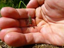 在一只人的手上的小的棕色青蛙 库存图片