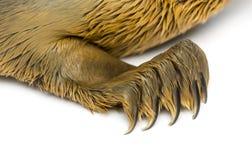 在一只公用印章小狗的爪子的特写镜头,被隔绝 图库摄影