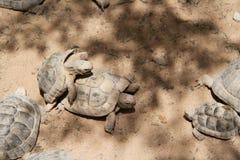 在一只大乌龟的小幼小乌龟 免版税库存图片